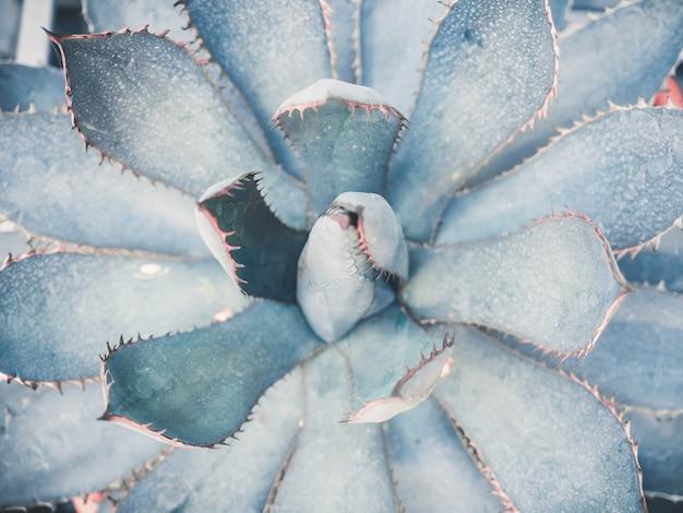 Blue agava close up background Premium Photo