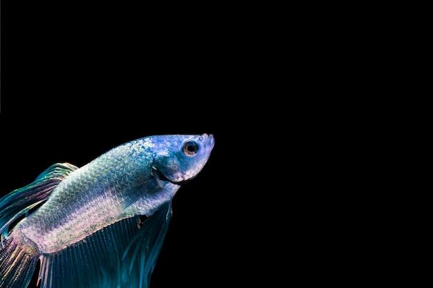 コピースペースを持つ青いベタの魚 無料写真
