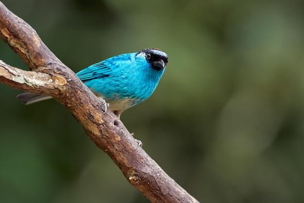 木の枝に腰掛けて青い鳥 Premium写真