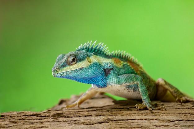 Blue chameleon on the tree Premium Photo