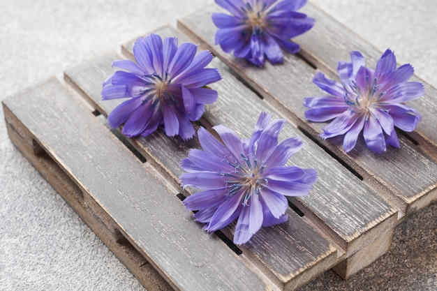 Blue chicory flowers on a grey table. close up. Premium Photo