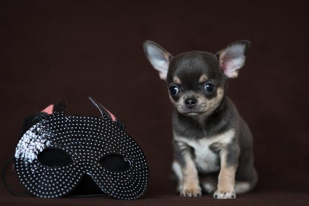 카니발 마스크와 블루 치와와 강아지입니다. 마디 그라. 프리미엄 사진