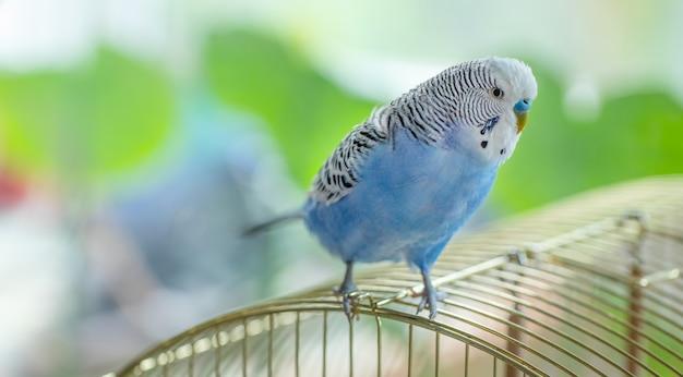 ケージの上に座っている青い満足の波状オウム、クローズアップ。 Premium写真