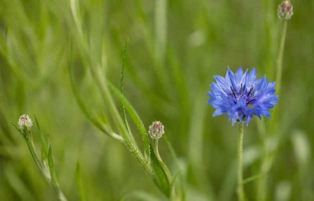 Василек синий на зеленом поле Premium Фотографии
