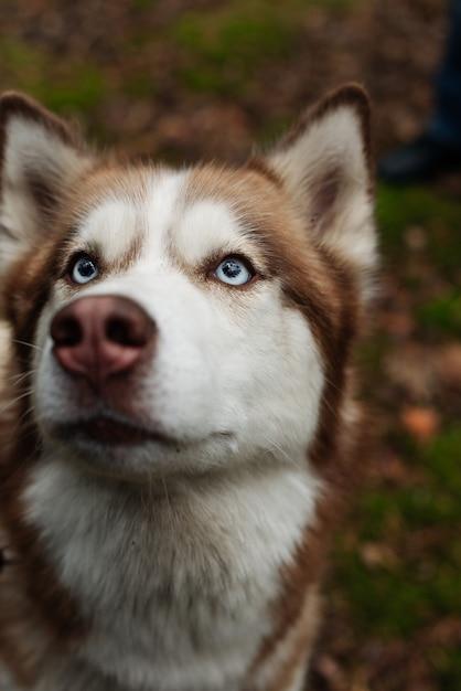 허스키의 파란 눈. 허스키를 올려보세요. 자세히 허스키 개. 개가 숲을 걷는다. 갈색 허스키 개. 프리미엄 사진