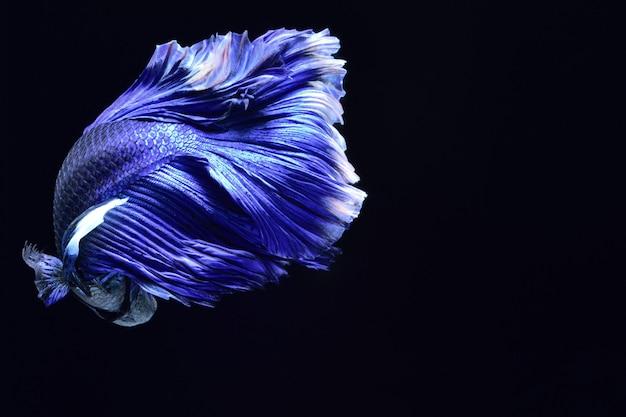 Blue fighting fish. Premium Photo