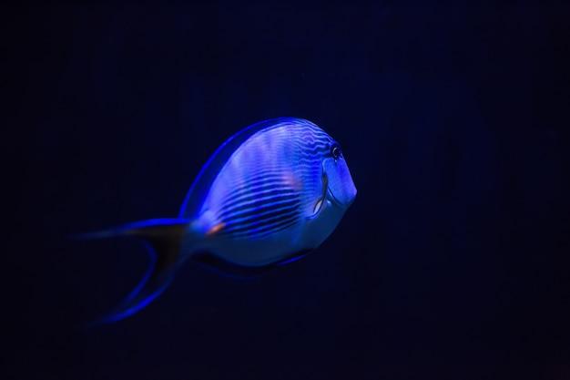 Blue fish in dark water Premium Photo