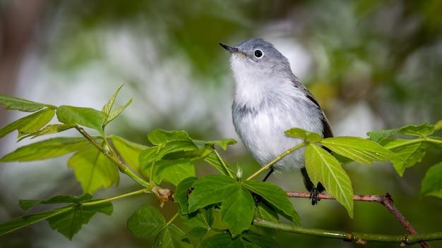 Gnatcatcher grigio blu Foto Gratuite