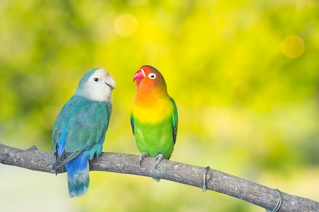 Blue and green lovebird parrots sitting together on a tree branch Premium Photo