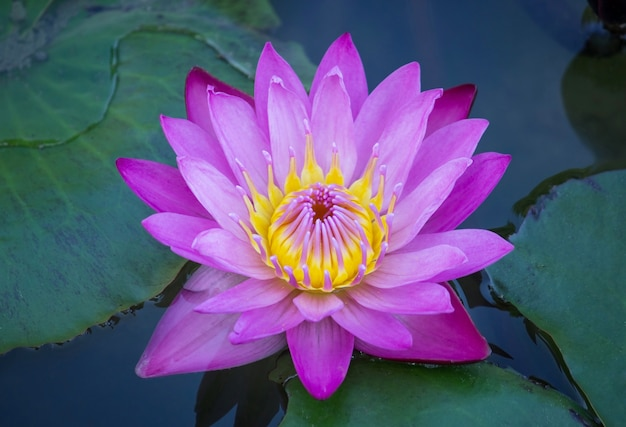 Blue Lotus Flower Photo Free Download