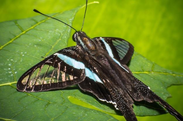 青い月の蝶、hypolimnas bolina。 Premium写真