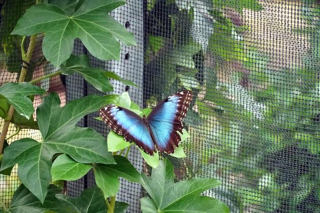 Голубая бабочка морфо сидела с распростертыми крыльями на листе возле сети Бесплатные Фотографии