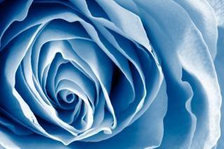 Blue Rose Hdr Photo Free Download