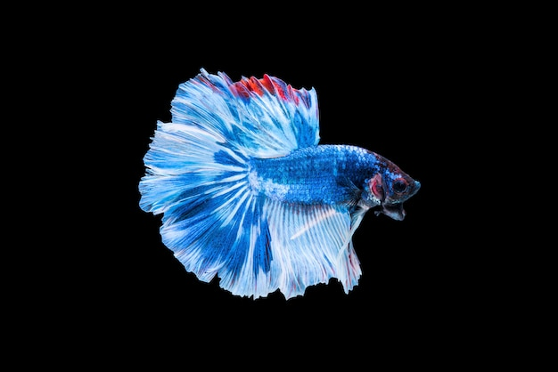 Blue siamese fighting fish or betta on black background. Premium Photo