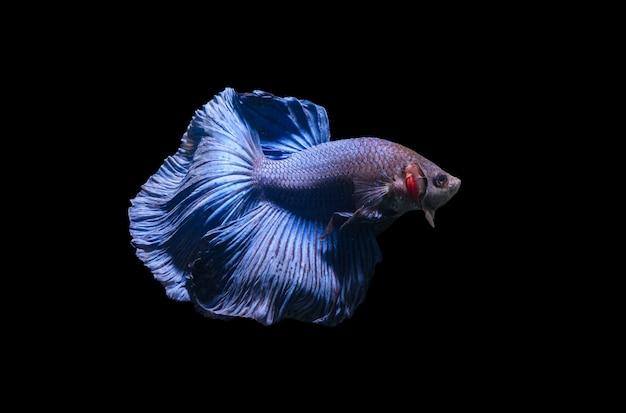 Синие сиамские боевые рыбы, изолированные бетта splendens Premium Фотографии