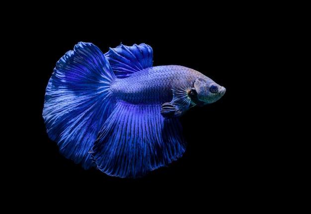 Blue siamese fighting fish, betta splendens Premium Photo