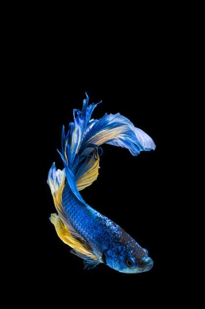 Blue and yellow betta fish, siamese fighting fish on black background Premium Photo