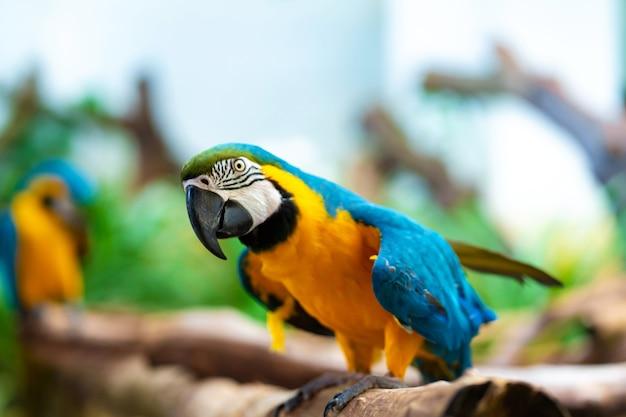 枝に座っている青黄色のオウムコンゴウインコ。 Premium写真