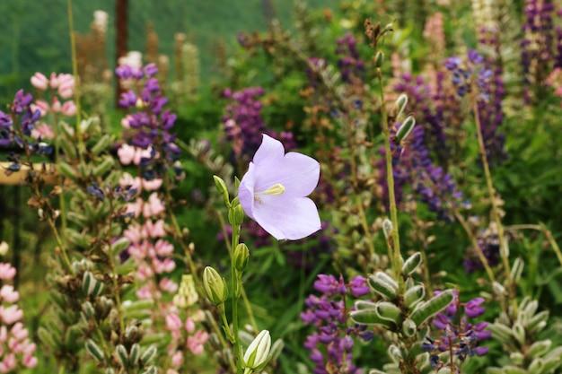 Цветок колокольчика в саду Premium Фотографии