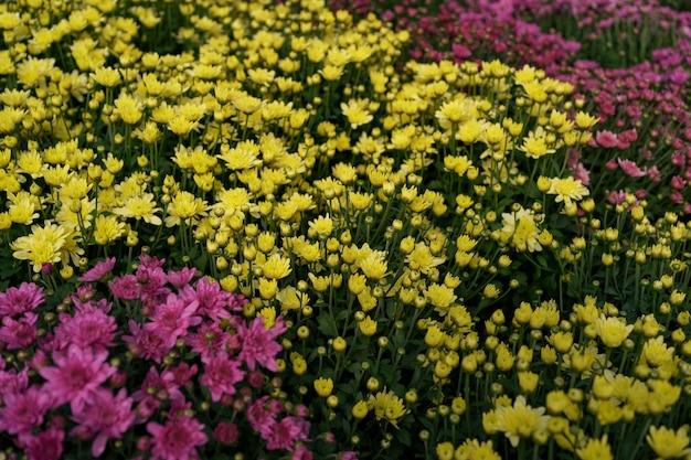 ブルーミング色とりどりの秋の菊の抽象的なテクスチャ 無料写真