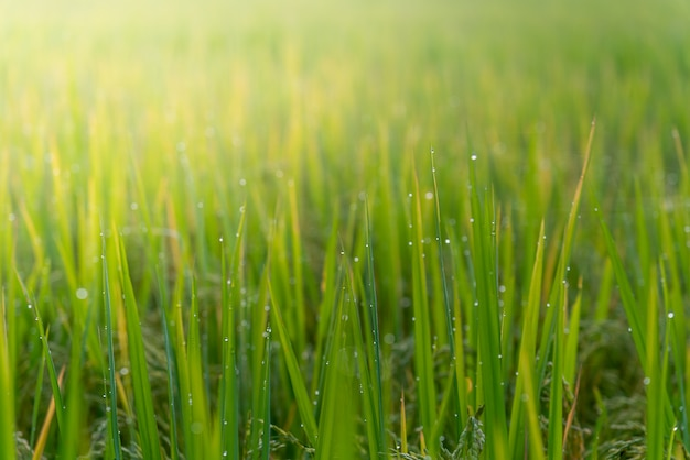 Blurred soft images of dew water on top of rice leaves with the morning sun Premium Photo