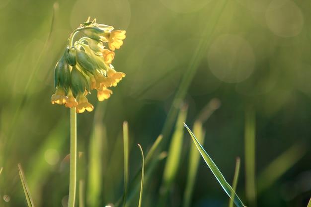Конец-вверх изолировал нежные красивые одичалые желтые цветки освещенные солнцем утра зацветая на высоких стержнях в поле или саде на запачканном туманном мягком зеленом bokeh. красота и гармония природы концепции. Premium Фотографии