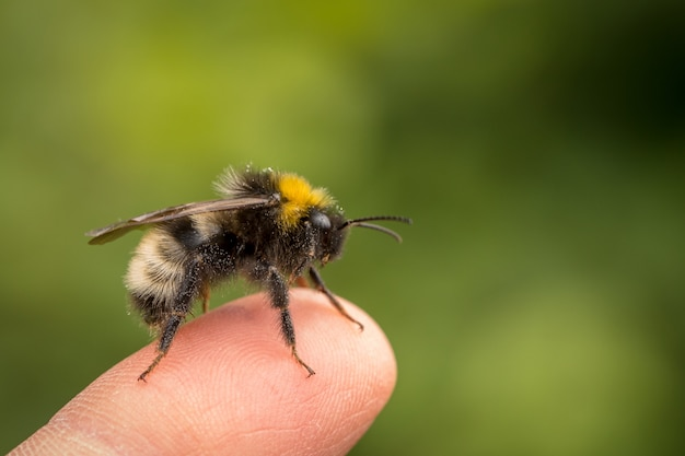 Bombus norvegicus, a species of cuckoo bumblebee, male insect sitting on a human finger Premium Photo