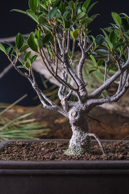 Bonsai ficus retusa Premium Photo