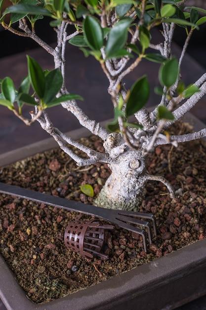 Bonsai ficus retusa Premium Photo