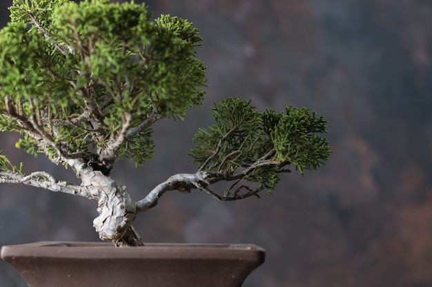 Bonsai juniperus chinensis Premium Photo