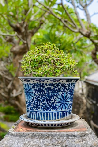 Bonsai,siamese rough bush in the porcelain pots Premium Photo