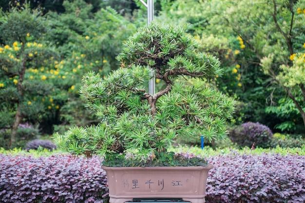 Bonsai tree growing in the garden Free Photo