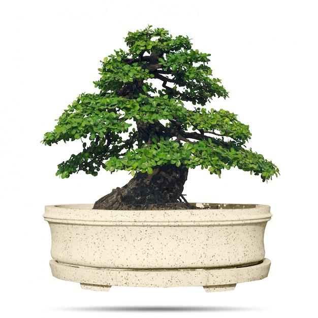 Bonsai tree isolated Premium Photo
