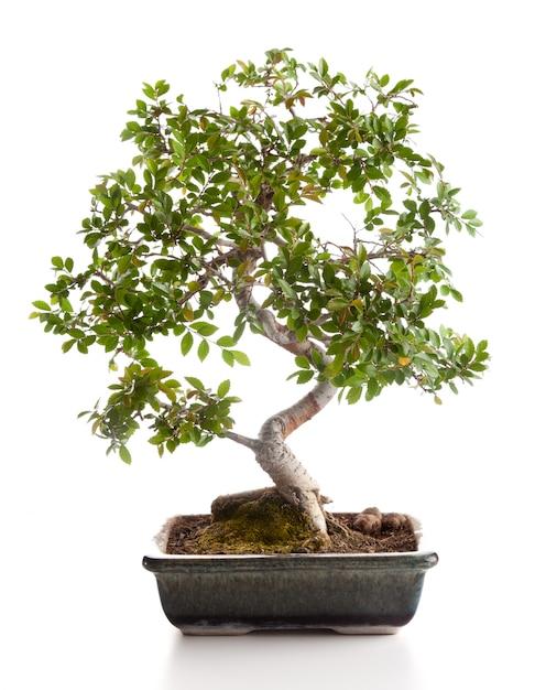 Bonsai tree Premium Photo