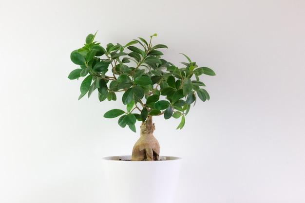 Bonsai type ficus, in white pot with white Premium Photo