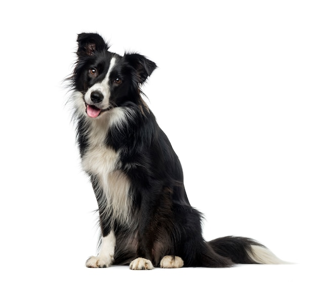 Cães semelhantes ao Labrador