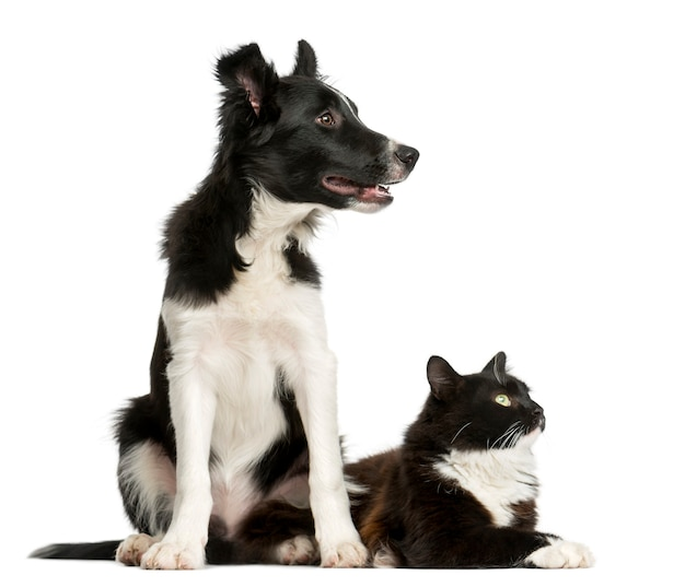 Border collie puppy and a cat in front of a white wall Premium Photo