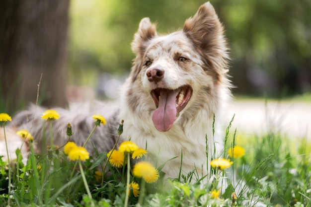 Border collie sitting on a path in a park Premium Photo