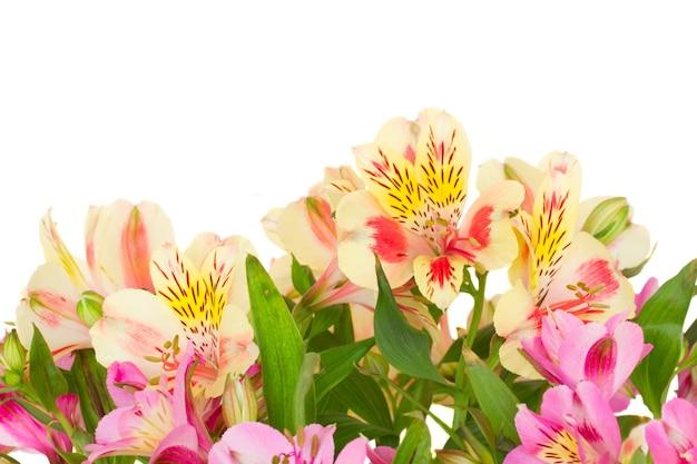 Граница цветов альстромерии, изолированные на белом фоне Premium Фотографии