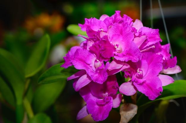 Bouquet of hybrid pink cattleya orchid Premium Photo