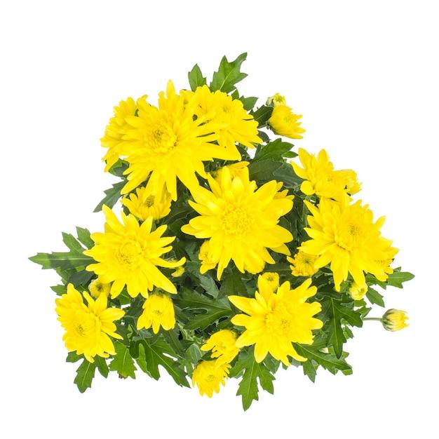 白い背景の上の鍋に新鮮な黄色の菊の花束。 Premium写真