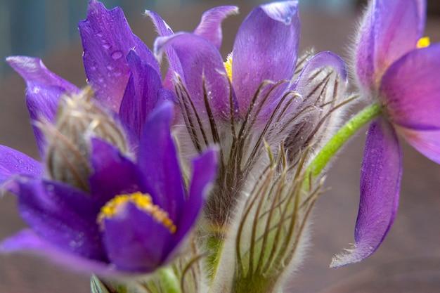 スノードロップの花束-最初の春の花。春の訪れを象徴する花。大きい Premium写真