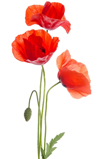 Premium Photo | Bouquet of red poppies isolated on white .
