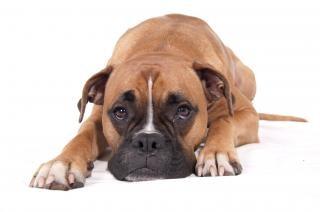 Боксер собака лежа Бесплатные Фотографии
