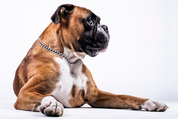 Boxer dog with suggestive look on white background Premium Photo
