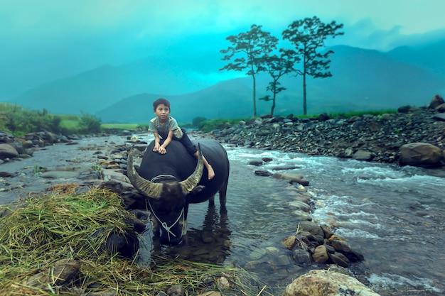 The boy are riding a buffalo. Premium Photo
