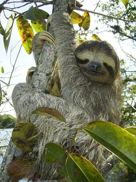 Bradypus pygmy toed pygmaeus sloth three Free Photo