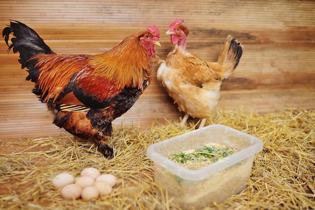 ブラマ鶏と裸首のトランシルバニア鶏 Premium写真