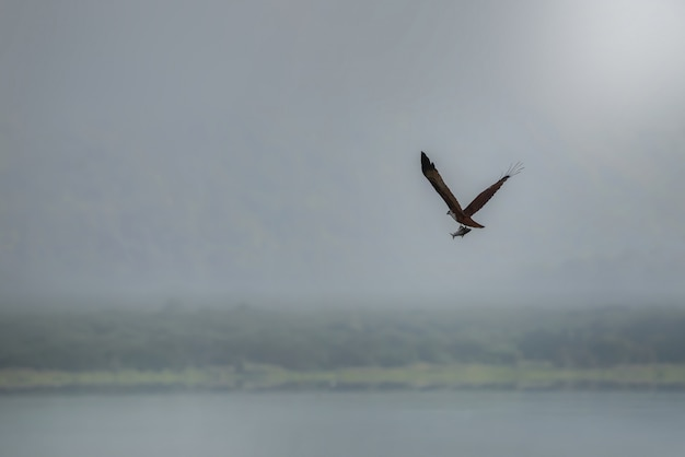 Brahminy kite (red-backed sea-eagle) flying and catching fish in the lake. copy space Premium Photo