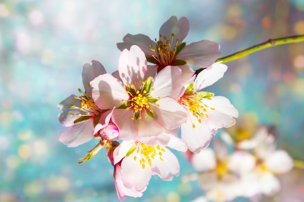 A branch of blossoming almonds Premium Photo